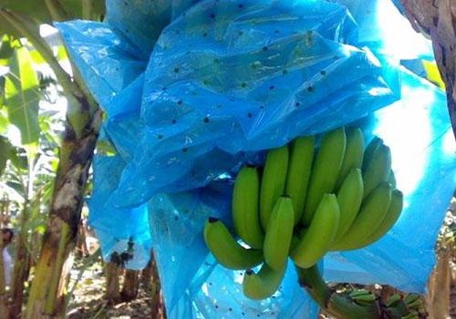 Borgmann Bananenreiferei